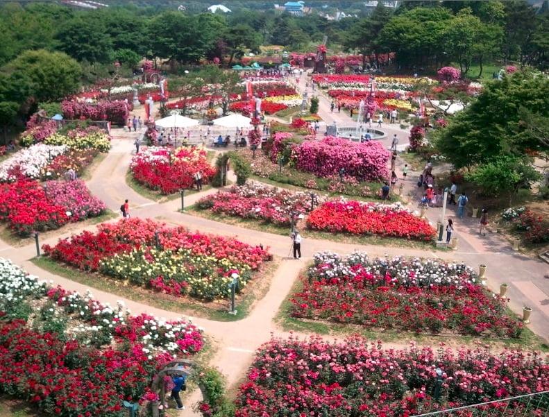 Огромный сад роз
