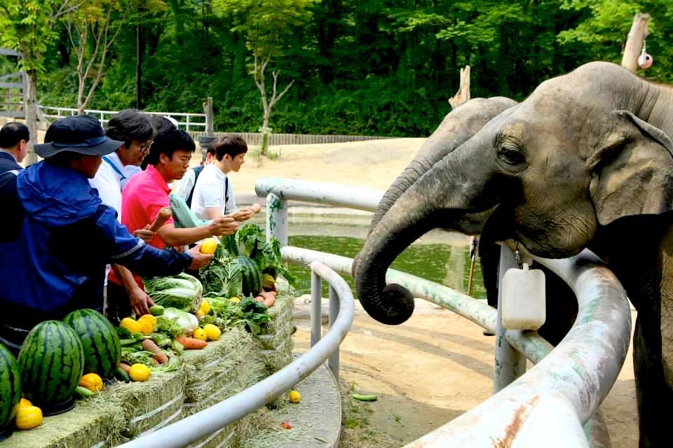 Слонов можно кормить в Сеульском зоопарке