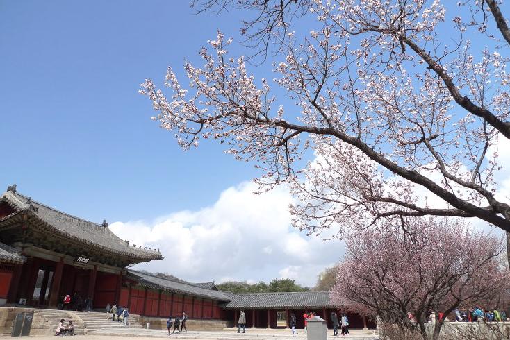 Сакура во дворце Чхангёнгун