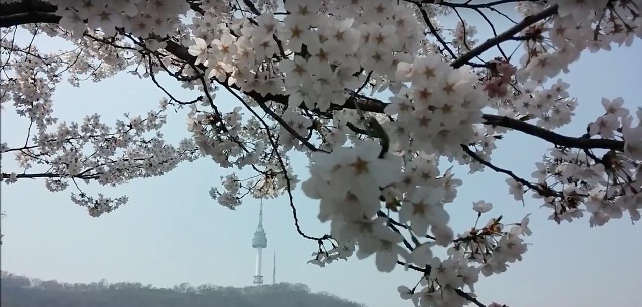 Намсан весной: цветение вишни
