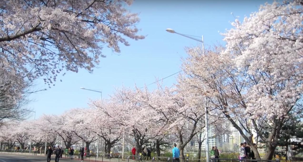 Фото цветения сакуры в Сеуле на Йоидо
