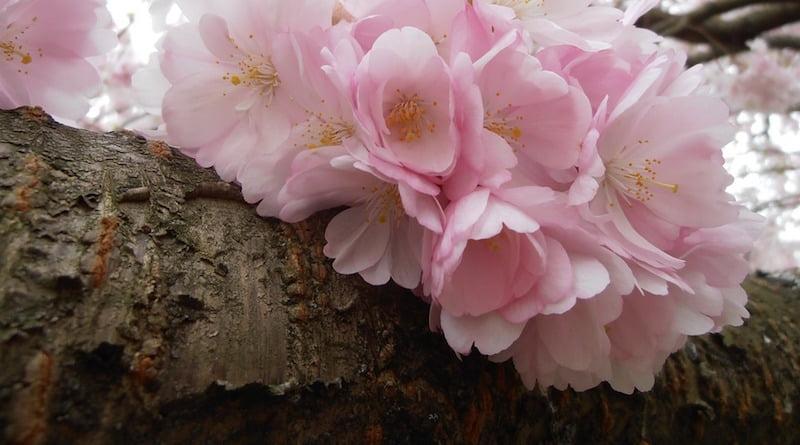 Советы где посмотреть цветущую сакуру в Корее